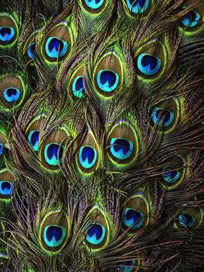 Tail peacock feathers (Pavo cristatus)